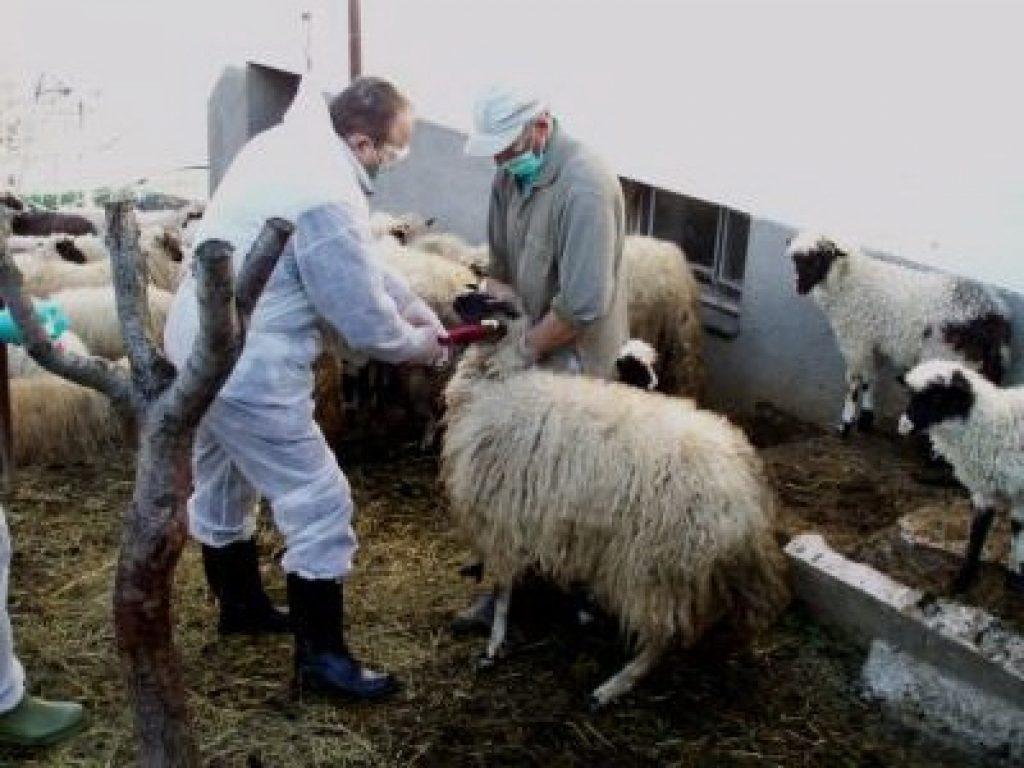 Otkrivena bruceloza kod veceg broja krava i ovaca na farmi u okolici Sarajeva