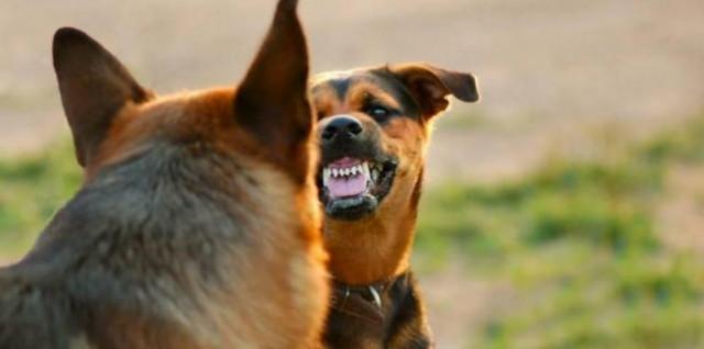 agresivni pas